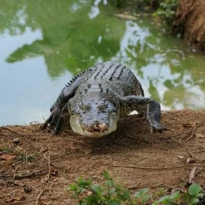krokodil filmek pornó