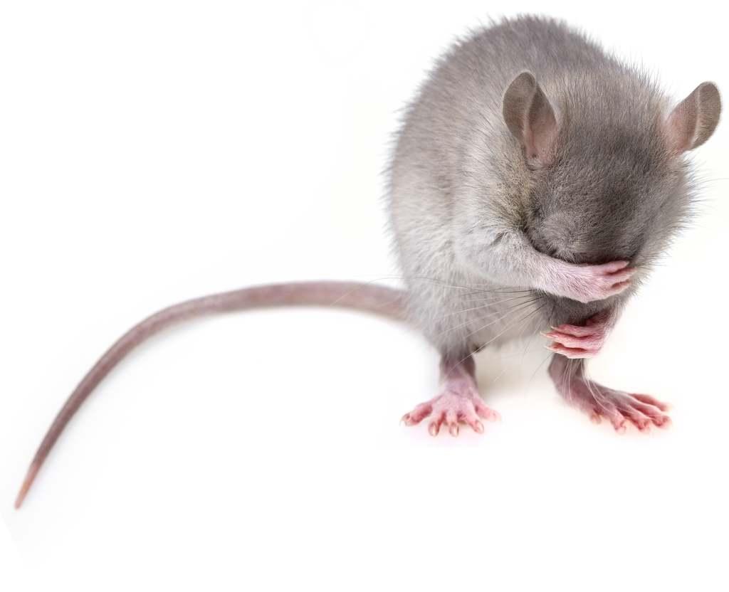 Mit tegyünk, ha látunk egy patkányt?