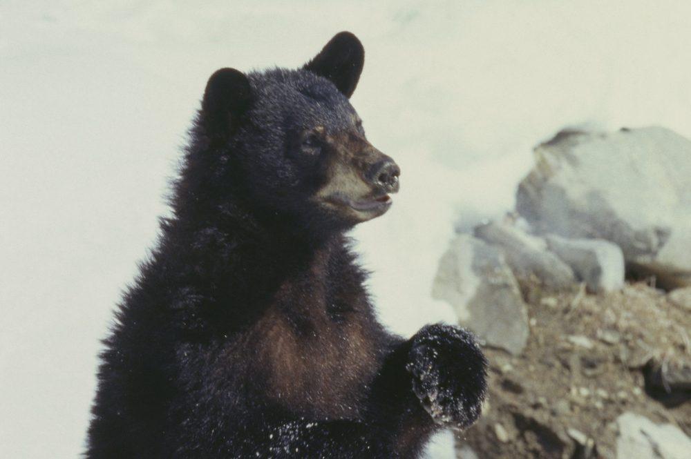 Hasonló medve harapta meg Shannon fenekét is