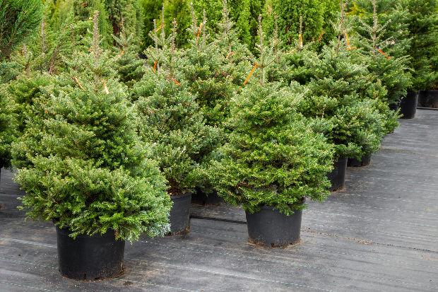 Ha a te otthonodban minden évben ugyanaz a fenyőfa kerül.